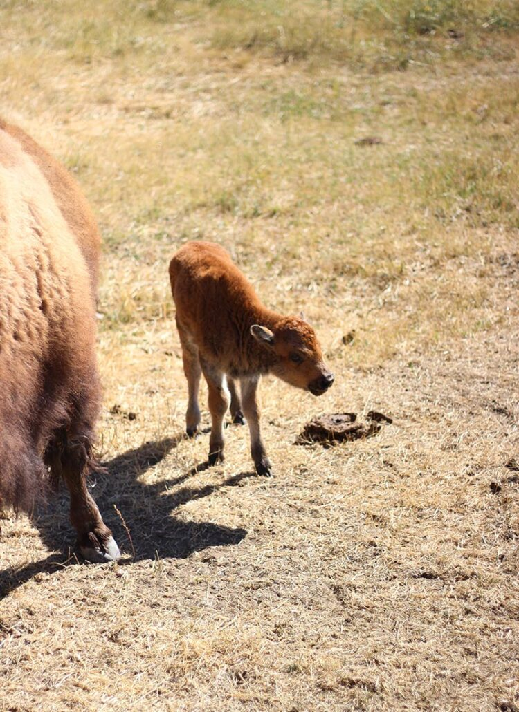 baby bison at Terry Bison Ranch