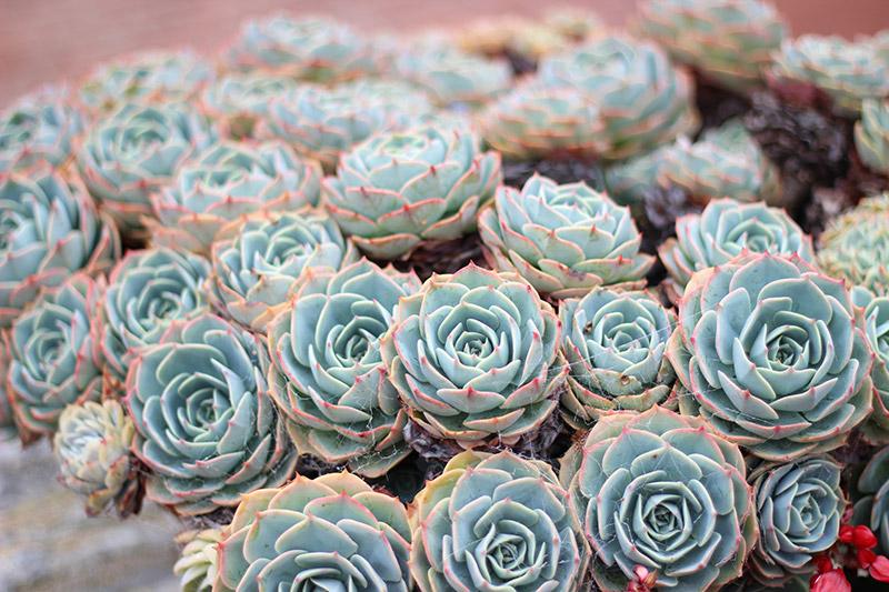 California succulents