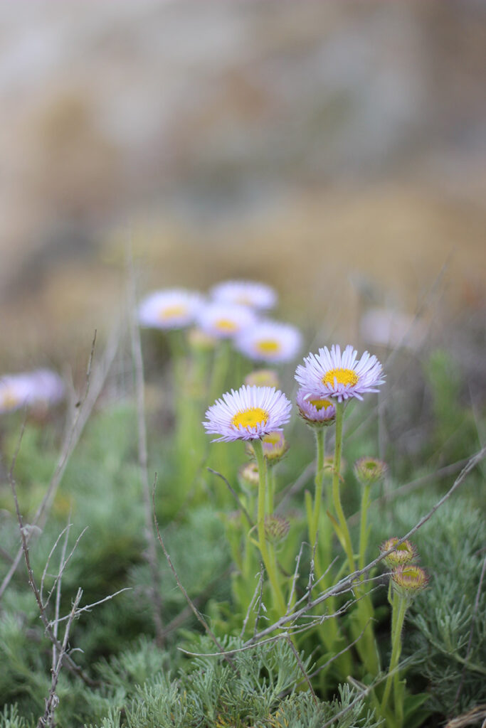 Wildflowers at Point Lobos State Park